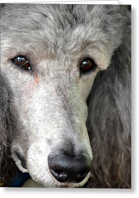 Portrait Of A Silver Poodle Greeting Card