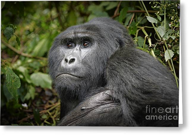 Portrait Of A Silverback Mountain Gorilla Greeting Card