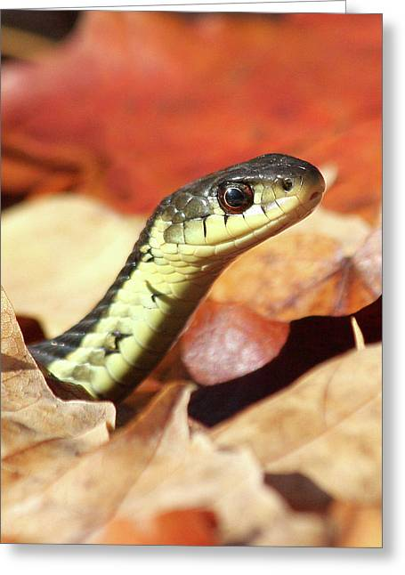 Greeting Card featuring the photograph Portrait Of A Snake by Doris Potter