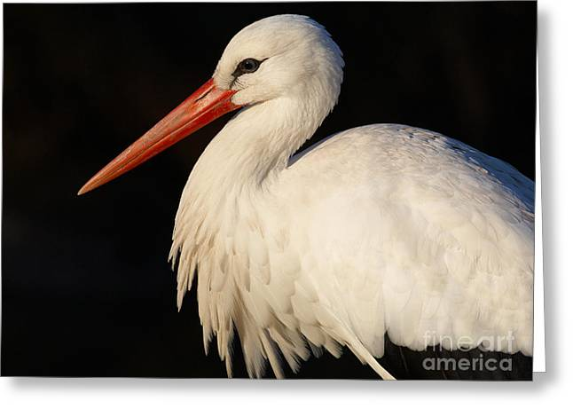 Portrait Of A Stork With A Dark Background Greeting Card