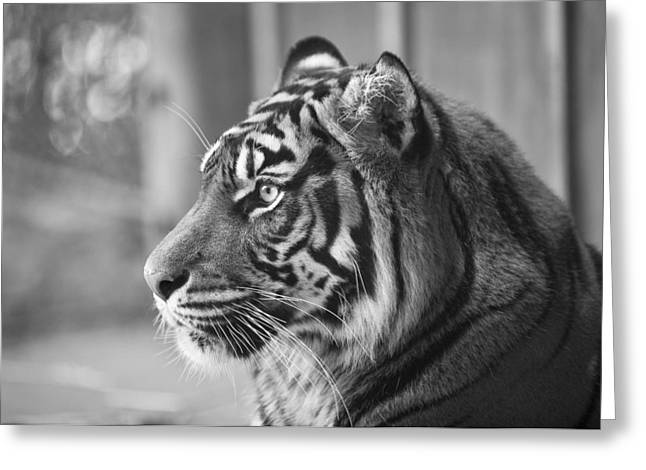 Portrait Of A Sumatran Tiger Greeting Card by Gary Neiss