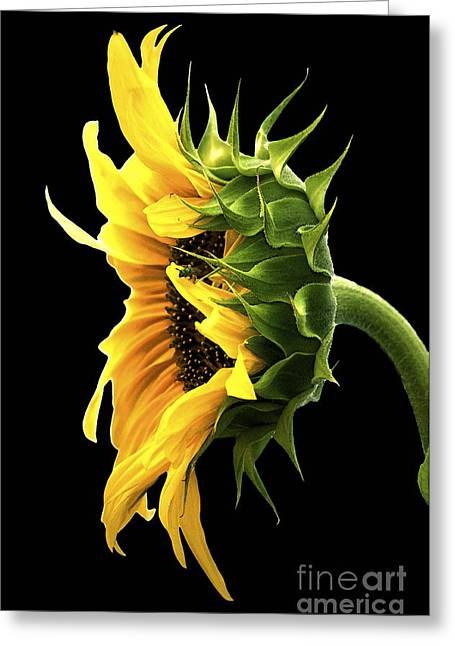 Portrait Of A Sunflower Greeting Card by Gwyn Newcombe