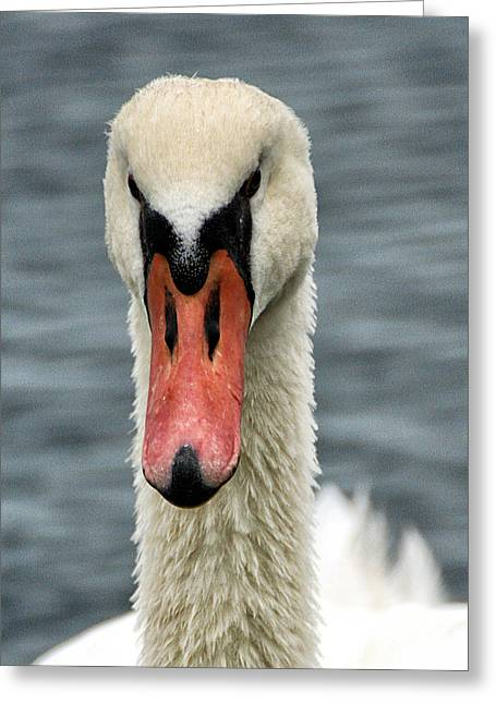 Greeting Card featuring the photograph Portrait Of A Swan by William Selander
