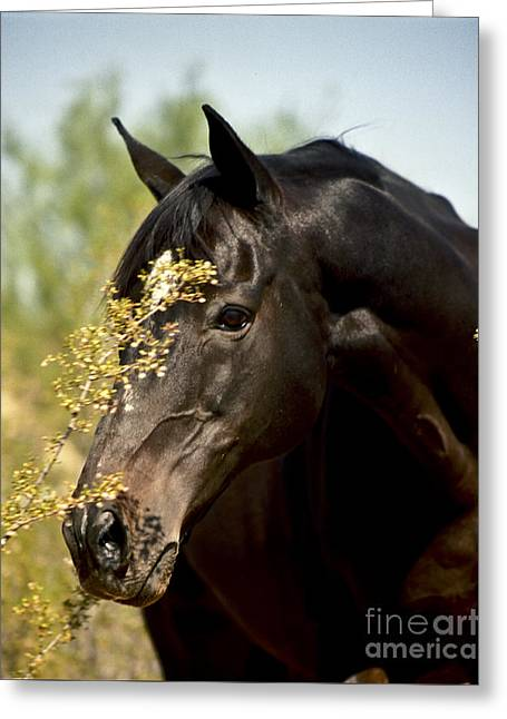 Portrait Of A Thoroughbred Greeting Card by Kathy McClure