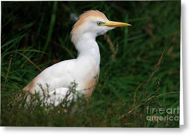 Portrait Of A White Egret Greeting Card