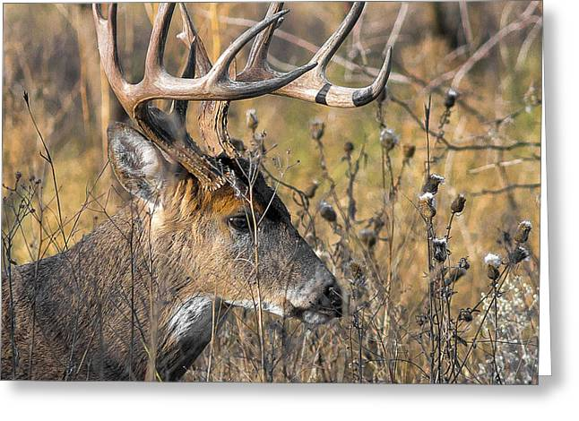 Portrait Of A Whitetail Greeting Card