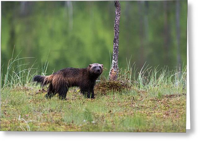 Portrait Of A Wolverine, Gulo Gulo Greeting Card by Sergio Pitamitz