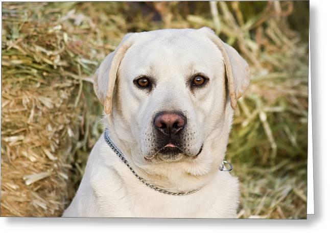 Portrait Of A Yellow Labrador Retriever Greeting Card