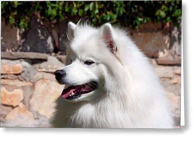 Portrait Of An American Eskimo Dog (mr Greeting Card by Zandria Muench Beraldo