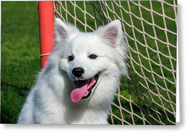Portrait Of An American Eskimo Puppy Greeting Card by Zandria Muench Beraldo