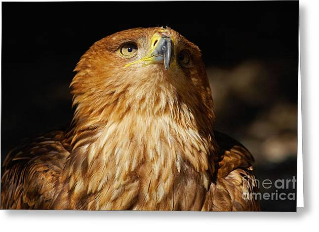 Portrait Of An Eastern Imperial Eagle Greeting Card