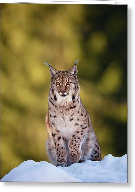 Portrait Of Eurasian Lynx (lynx Lynx Greeting Card by Martin Zwick