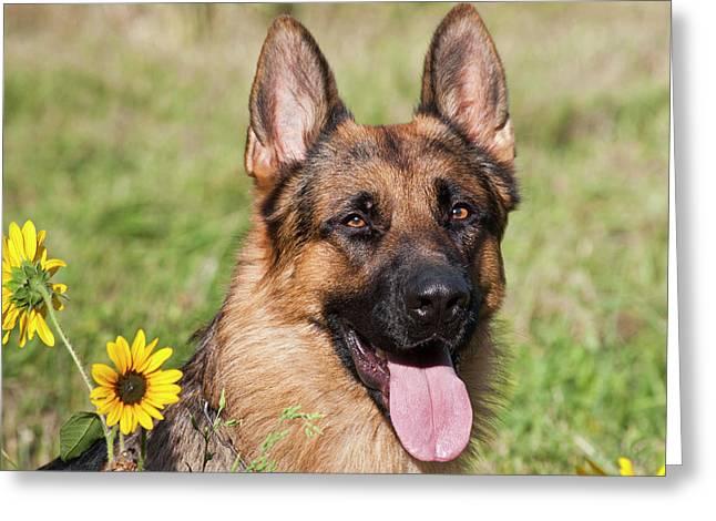 Portrait Of German Shepherd Sitting Greeting Card