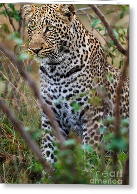 Portrait Of Leopard Male Paja In Masai Mara Greeting Card by Maggy Meyer