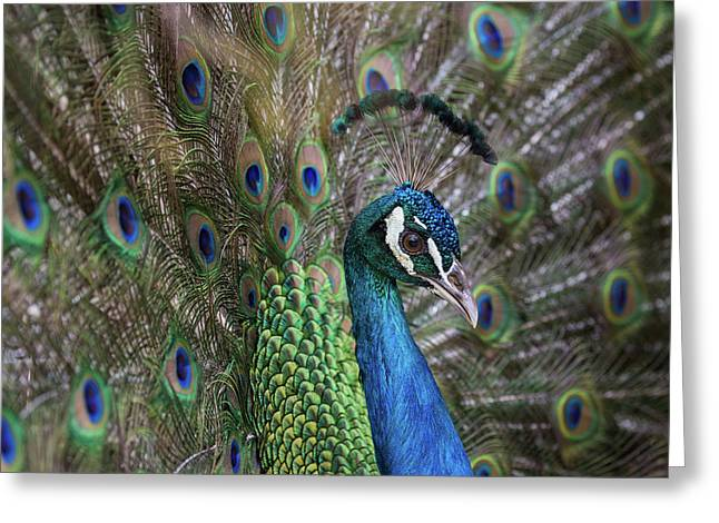 Portrait Of Male Peacock, Pavo Muticus Greeting Card