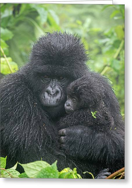 Portrait Of Mountain Gorilla, Gorilla Greeting Card