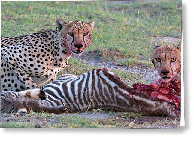 Portrait Of Two Cheetahs Eating Greeting Card