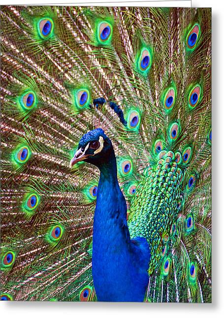 Portrait Peacock Greeting Card
