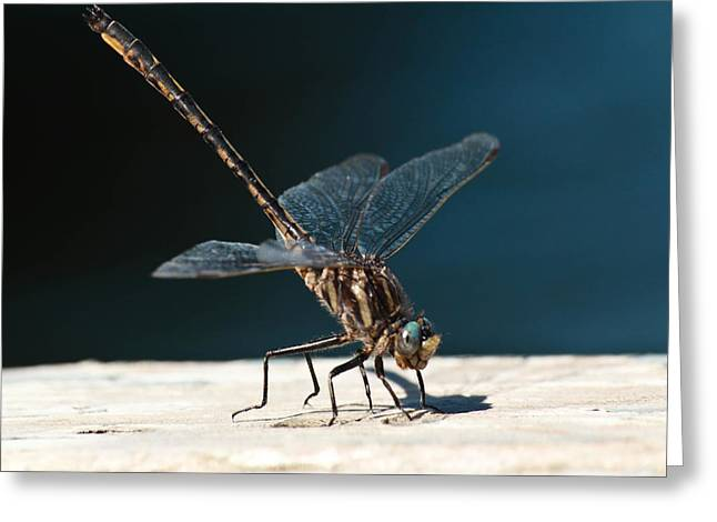 Posing Dragonfly Greeting Card