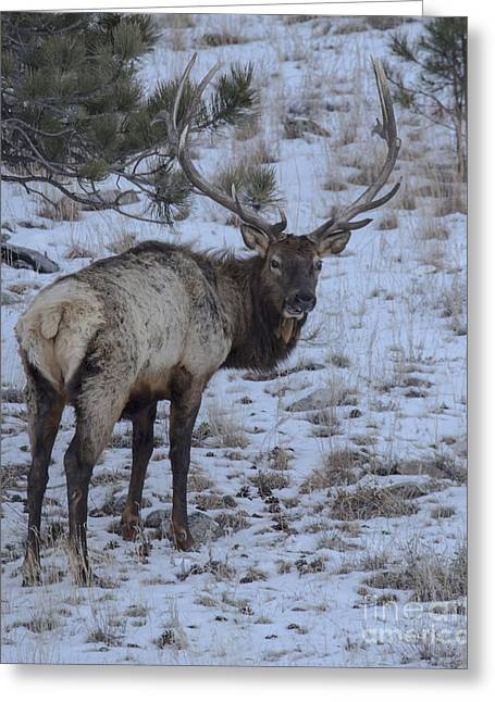 Elk Bull In Wind Cave National Park Greeting Card