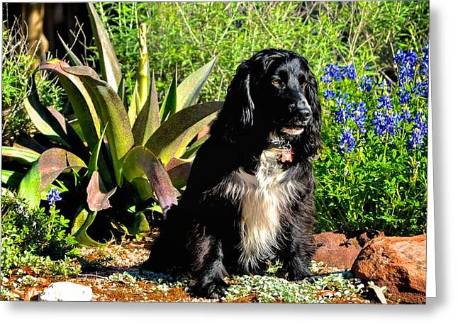 Sprocker Posing For A Portrait Greeting Card by Kristina Deane