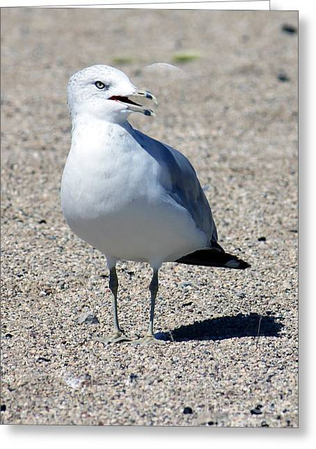 Greeting Card featuring the photograph Posing Gull by Debbie Hart