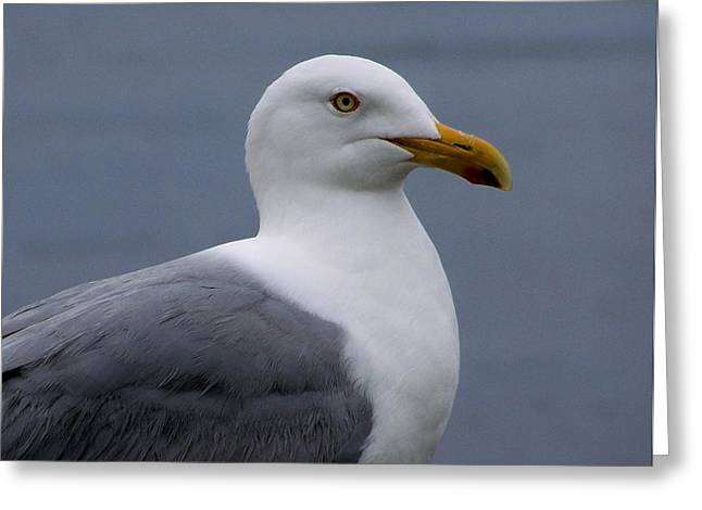 Greeting Card featuring the photograph Posing Gull by Gene Cyr