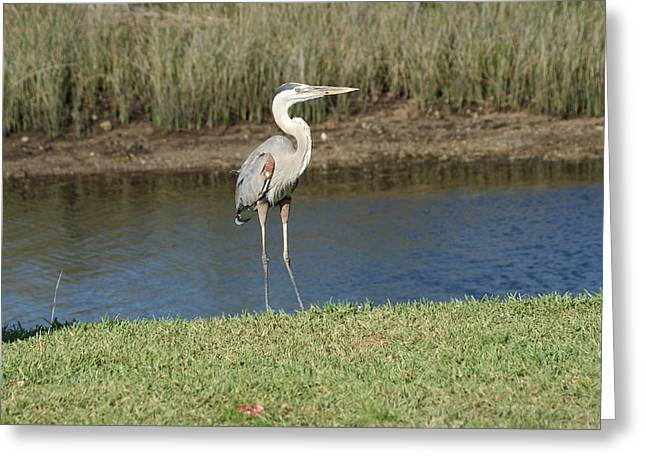 Posing Heron Greeting Card by Lois Lepisto