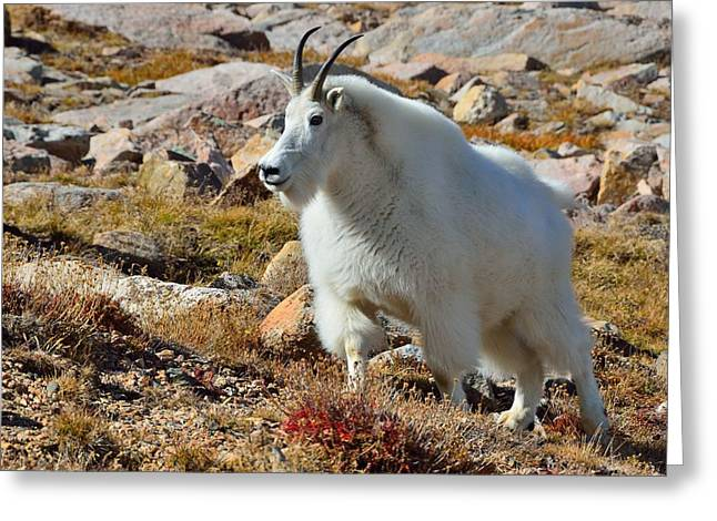 Posing Mountain Goat Greeting Card