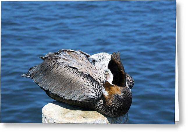 Posing Pelican At Stearns Wharf 3 Greeting Card