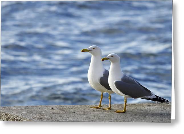 Posing Seagulls Greeting Card