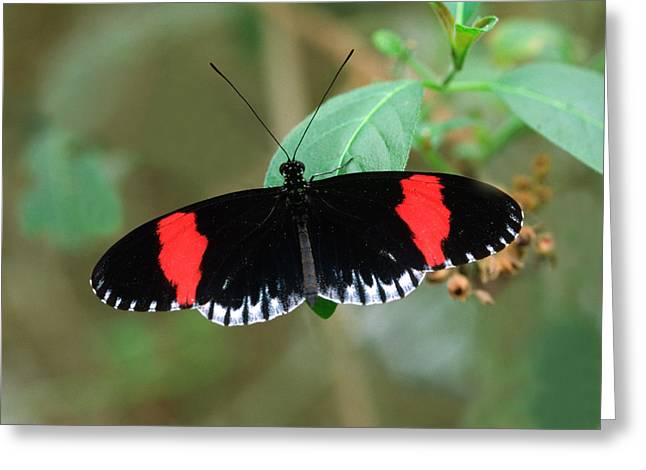 Postman Butterfly Greeting Card by Nigel Downer