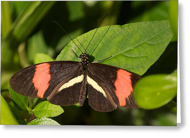 Greeting Card featuring the photograph Postman Butterfly by Sandy Molinaro