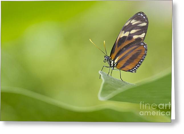 Greeting Card featuring the photograph Postman On A Leaf by Bryan Keil