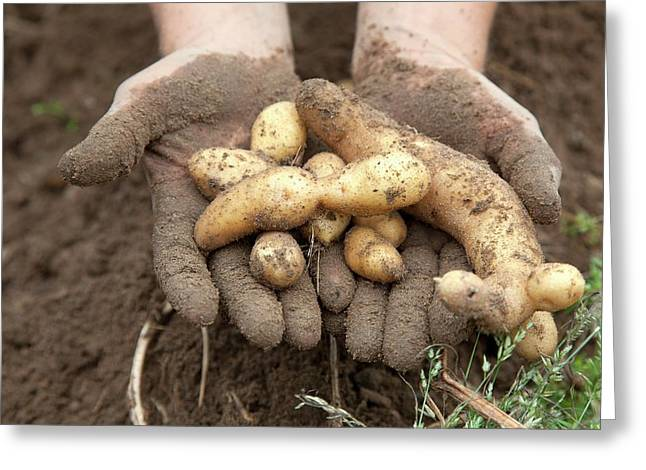 Potato Harvest Greeting Card by Jim West