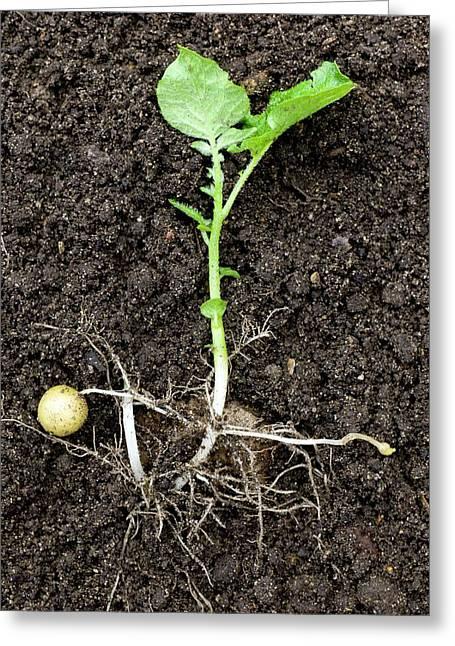 Potato Plant (solanum Tuberosum) Greeting Card