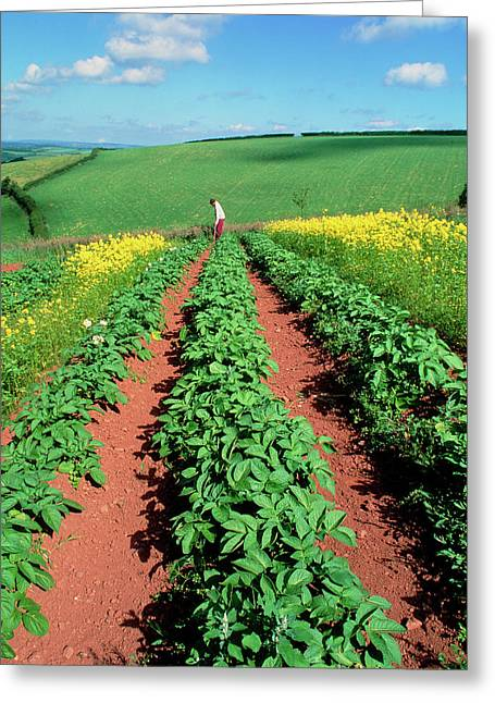 Potato Plants Flanked By Mustard On Organic Farm Greeting Card