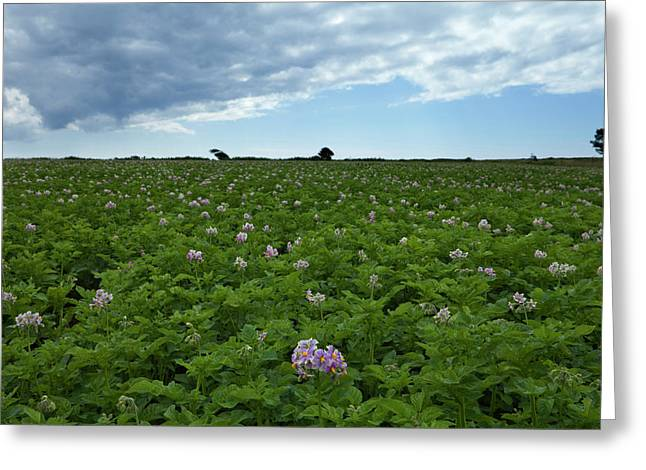 Potatoe Field At Ardmore, County Greeting Card by Panoramic Images