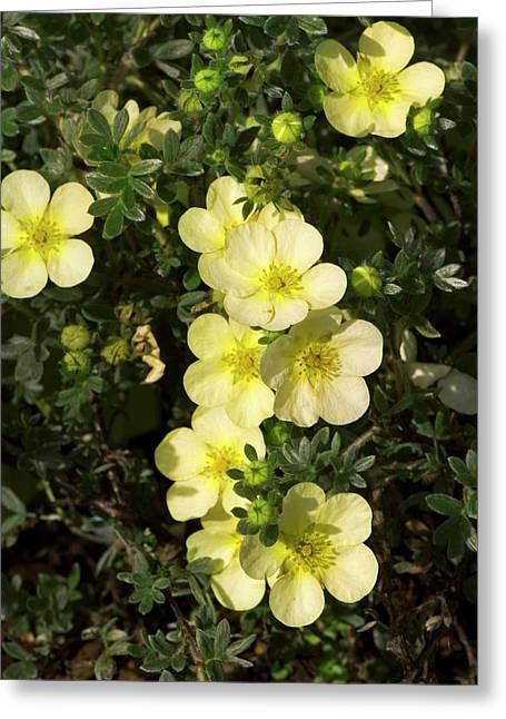 Potentilla Fruticosa 'primrose Beauty' Greeting Card by Adrian Thomas