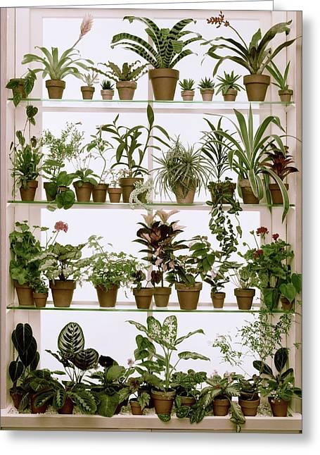 Potted Plants On Shelves Greeting Card by Wiliam Grigsby
