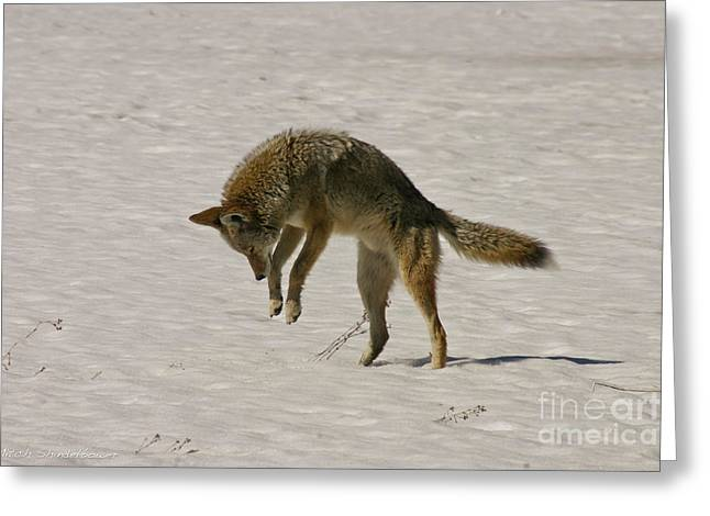 Greeting Card featuring the photograph Pouncing Coyote by Mitch Shindelbower
