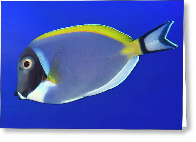 Powder Blue Tang Or Powder Blue Surgeon Greeting Card