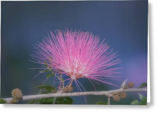 Powder Puff Blossom Greeting Card