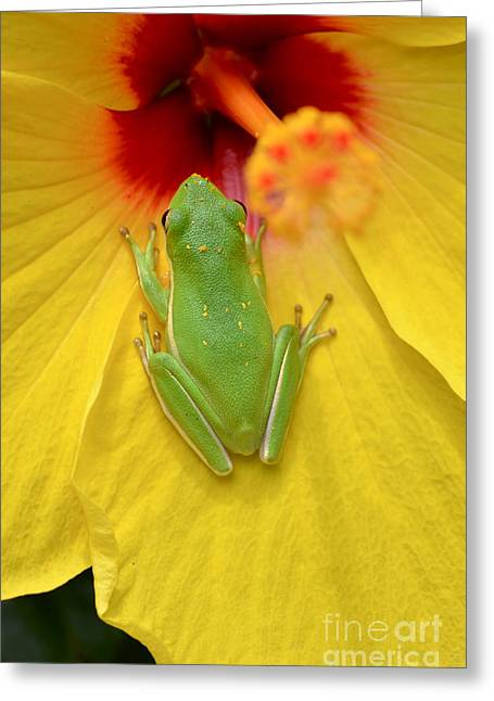 Powdered Frog  Greeting Card by Kathy Gibbons