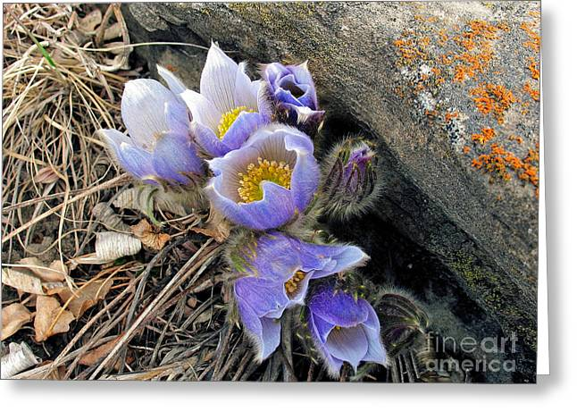 Praire Crocus Greeting Card