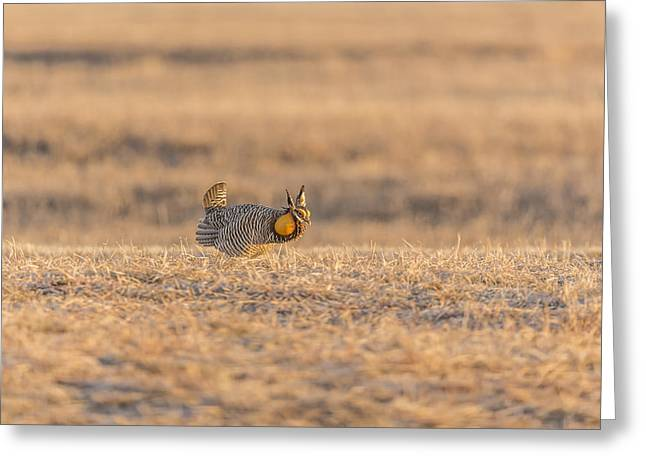 Prairie Chicken 2013-11 Greeting Card by Thomas Young