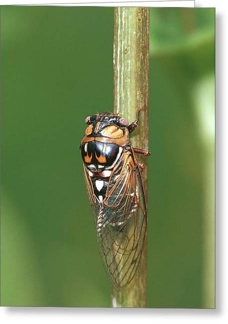 Prairie Cicada (tibicen Dorsata Greeting Card by Richard and Susan Day