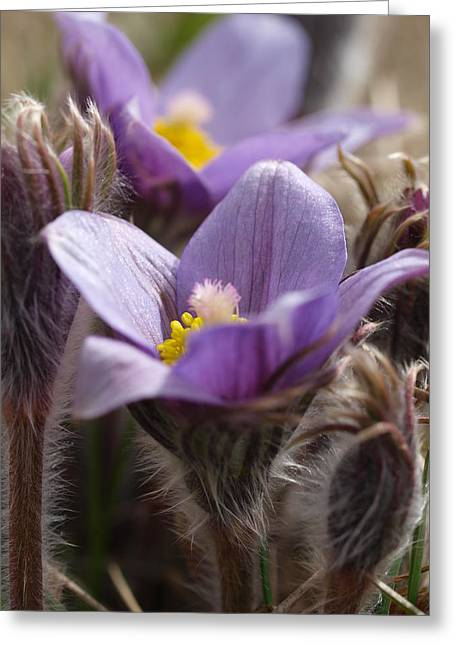 Prairie Crocus Greeting Card by Jenessa Rahn