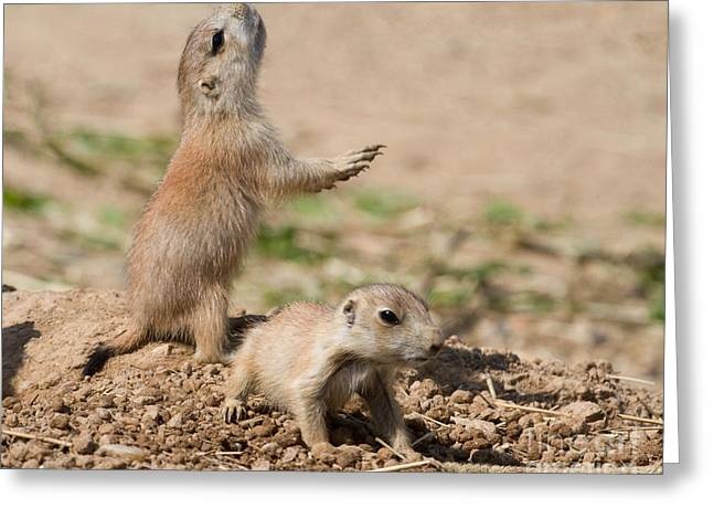 Prairie Dog Alarm Greeting Card by Chris Scroggins