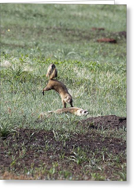 Prairie Dog Ferret Fight Greeting Card